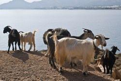 Российские олигархи в Сочи бодаются с горными козами