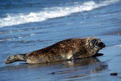 В Карибском море вымерли последние тюлени