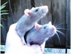 В массовой эпидемии бурятских детсадовцев виноваты крысы