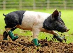 """Уникальную свинью, страдающую \""""грязефобией\"""", спасают от сумасшествия"""