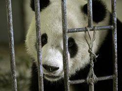 Китайский заповедник больших панд Волун после землетрясения
