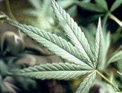 Афганские наркополицейские изъяли 200 тонн марихуаны