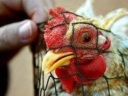 Из-за птичьего гриппа будут истреблены все куры на рынках Гонконга