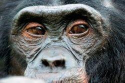 75-летний шимпанзе Чита хочет получить звезду на Аллее Славы