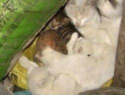 Китайская  кошка удочерила крысу