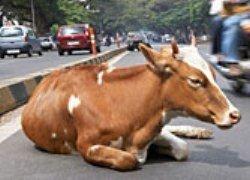 Борьба с коровами в Дели продолжается