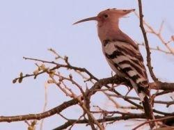 Удод стал национальной птицей Израиля