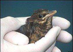 Защитники животных учат птиц петь