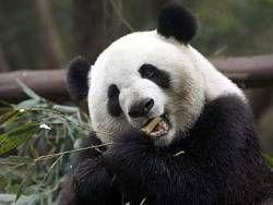 Землетрясение в Китае разрушило 80 процентов ареала обитания диких панд