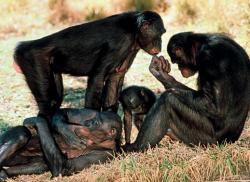 Шимпанзе успокаивают друг друга объятиями и поцелуями