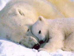 В Исландии появились белые медведи