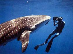 Подводное приключение с китовыми акулами