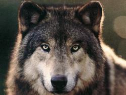 Китаец научил 30 волков петь и отбивать ритм лапами