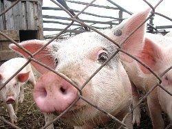 В Сычуане свинья провела под завалами месяц и выжила