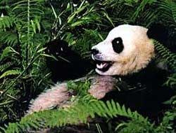 В Китае эвакуируют панд