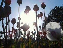 Талибы заработали $100 млн. на опиуме