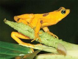 Ученые обнаружили африканских лягушек, выпускающих шипы