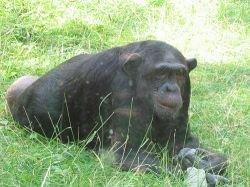 Польский заповедник взял на работу шимпанзе