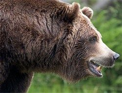 Индиец попал в тюрьму за воспитание медведя