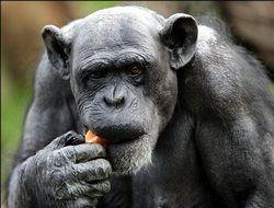 В России предоставили права людям, а в Испании - шимпанзе