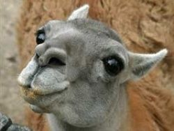 В ростовском зоопарке ламу назвали Хиддингианой