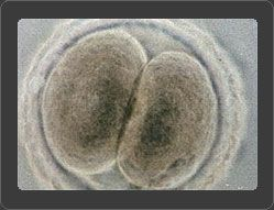 Австралия сняла запрет на клонирование человеческого эмбриона