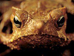 Тростниковая жаба угрожает всей Австралии