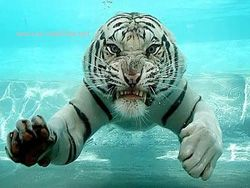 Подводная охота белого тигра