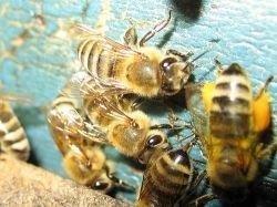 В результате ДТП в Канаде улетели миллионы пчел
