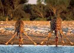 В Амстердаме жираф устроил массовый побег