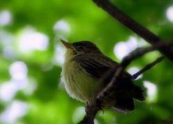 Городские птицы повторяют популярные рингтоны
