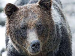 Фотографии из жизни медведей гризли