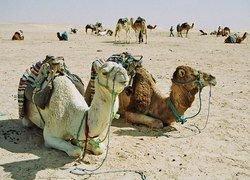 Верблюды на вооружении у Ближнего Востока