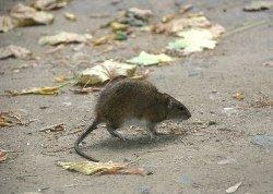 Излучение мобильных телефонов губительно для крыс