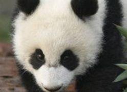 Спасенная после землетрясения панда родила двойню