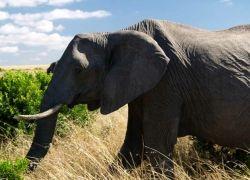 Слоны не только не бегают, но и ходят вприпрыжку