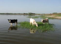 О вреде коров
