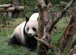 Для гигантских панд строят новый заповедник