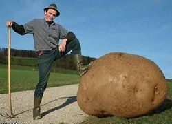 Трансгены: как есть картошку, которую не ест колорадский жук?