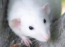 Женщина положила крысу в еду, чтобы не платить по счету