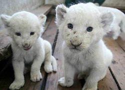 Львята-альбиносы появились на публике