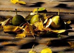 Ученые выяснили, почему груши портятся быстрее яблок