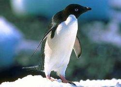 Бразилия подверглась нашествию пингвинов