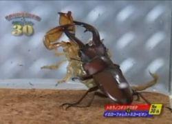 Бои насекомых