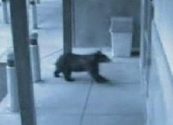 Медведь ворвался в магазин электроники в Колорадо