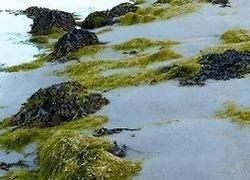 На пляжах Италии и Франции обнаружены ядовитые водоросли