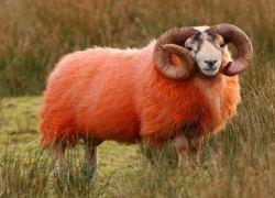 Шотландские раскрашенные овцы