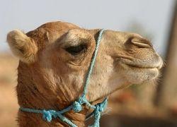 Цирковые верблюды блокировали движение в австралийском городе