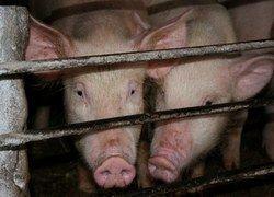 Зачем датские фермеры доводят свиней до оргазма?