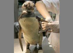 Сотни трупов пингвинов прибило к берегам Бразилии